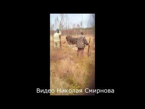 В Тверской области лось увяз в болоте