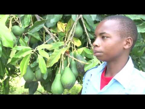 High school student advising on making money from grafted avocado farming