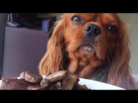 Cavalier King Charles Spaniel can't stop eating