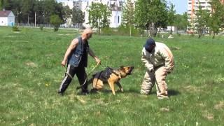 Дрессировка в Твери с Игорем Недбайло и Александром  Сурдиным, молодые собаки...