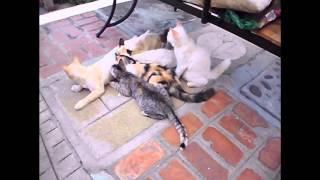 Polydactyl Cat Still Nursing Her 5 Month Old Kittens