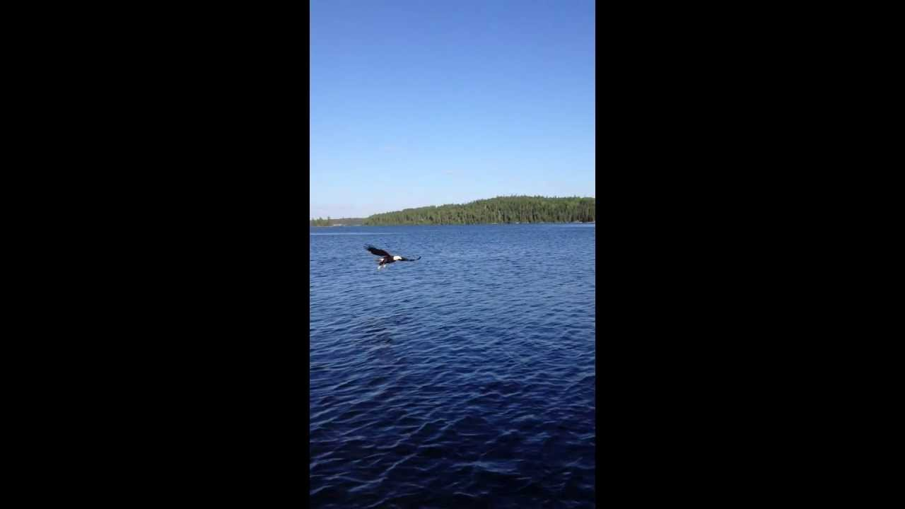 Bald eagle vs northern pike from iphone lac seul ontario for Lac seul fishing report