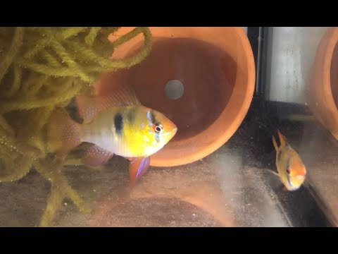 PULLING FISH EGGS AT NIGHT - German Blue Ram