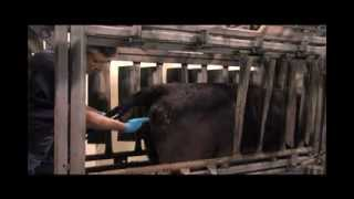HOW TO PLACE A CIDR DEVICE IN A COW