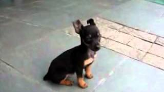 Min Pin Very Angry -  Get Up, Very Funny -  - Pinscher Puppy  Minusculo