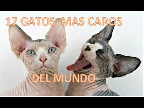 LOS GATOS MAS CAROS DEL MUNDO !!!!! D: