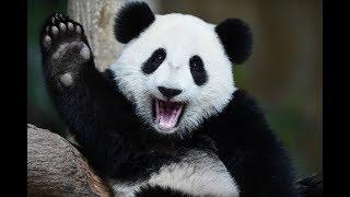 சீனாவின் தூதர்களான பாண்டாக்கள்...Short Video For Panda Lovers   Panda Porn