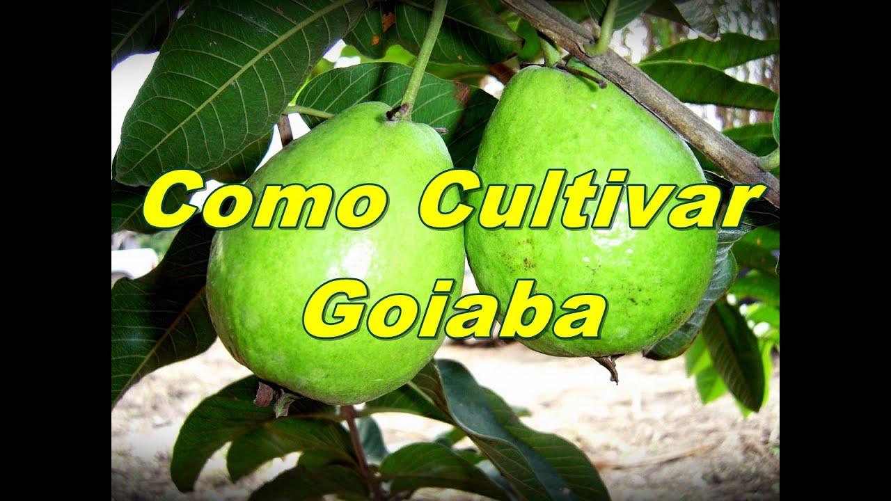 Mondini plantas como cultivar goiaba youtube for Como cultivar plantas ornamentales