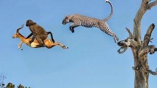 アメージングヒヒヒョウ狩猟野生の犬対バッファローライオン対ゾウから...