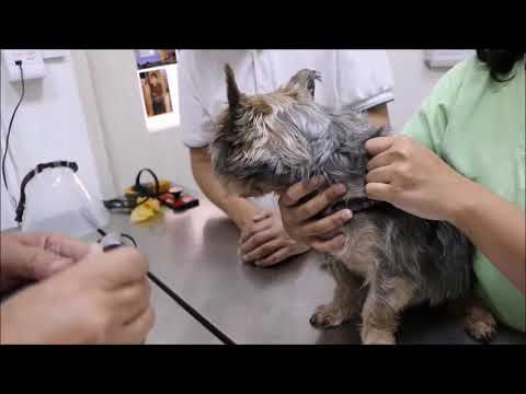 Final Video: A Silkie Terrier has liver disorder. What to do?