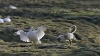 Kutup Tilkisinin Kaz Yumurtası Avı