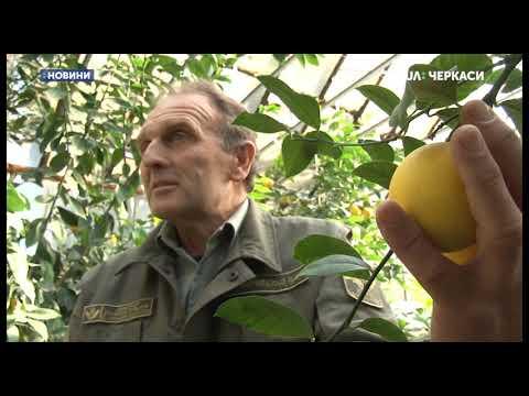 У Корсунському лісовому господарстві на Черкащині почали достигати лимони