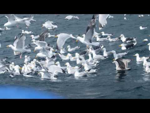 Gulls in the sea - Pelagic Bird Trip