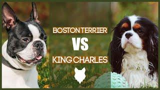 BOSTON TERRIER VS CAVALIER KING CHARLES SPANIEL