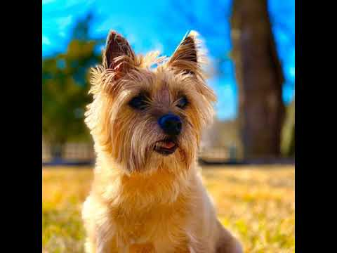 Dixie the Norwich terrier - Happy New Year 2020