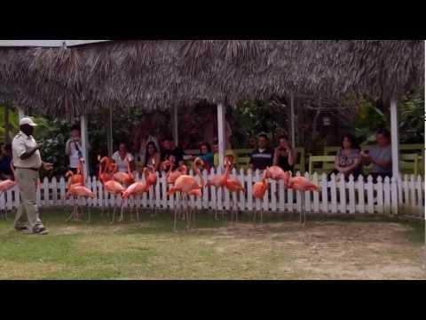 The flamingos marching daily show @ Ardastra Gardens Nassau, Bahamas Part 1