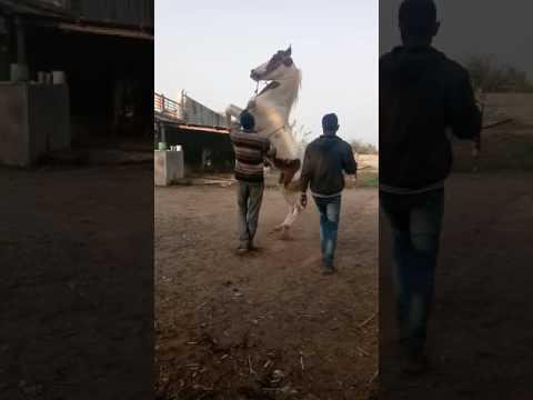 Divani dansar godi Bayad. 9427057401.kirit Patel., 8140829254.akshay Patel