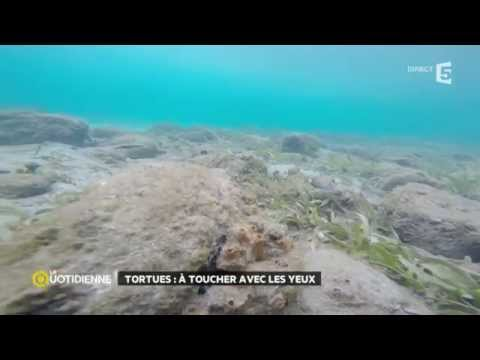 Les tortues marines de Martinique
