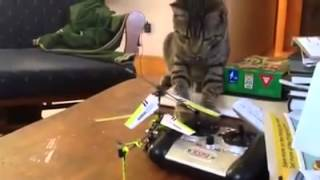 Cat vs RC Helicopter