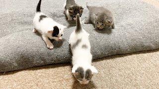 段差に困る赤ちゃん猫