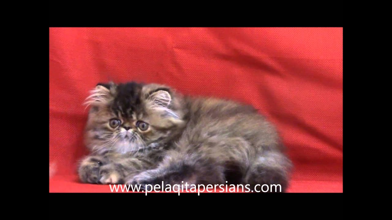 Brown Patch Tabby Pers...