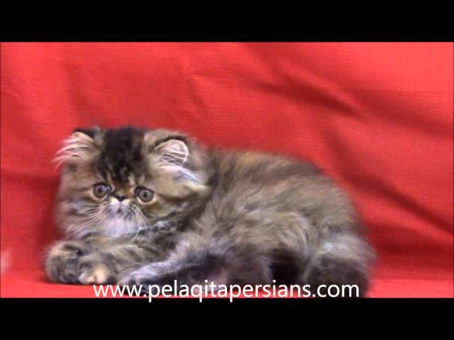 Brown Patch Tabby Persian kitten