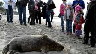Балтийский тюлень в Зеленоградске