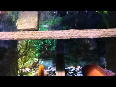 Pictus Catfish Swimming Upsidedown