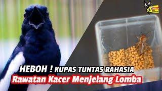 DUNIA HOBI : HEBOH ! Kupas Tuntas Rahasia Rawatan Kacer Menjelang Lomba - SRIWIJAYA, Vian – Banten