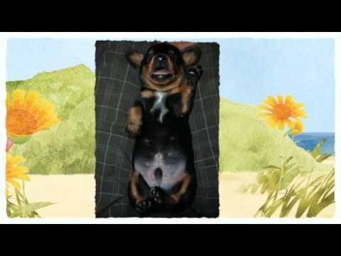 little-schnitzel.....dachshund-free-to-good-home