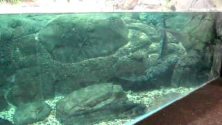 Крокодилы среди рыб (шанхайский океанариум, 2010)(, 2011-01-31T14:42:31.000Z)