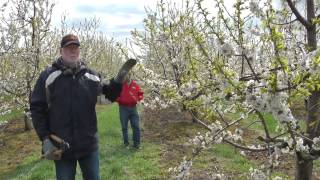 Pruning the Mature Cherry Tree on Gisela Rootstock