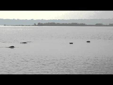 Hippos wallowing. Lake Edward, Uganda.