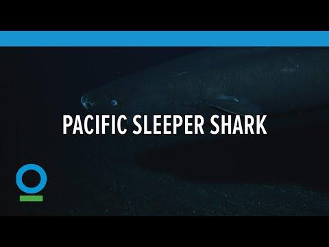 Pacific Sleeper Shark | Conservation International (CI)