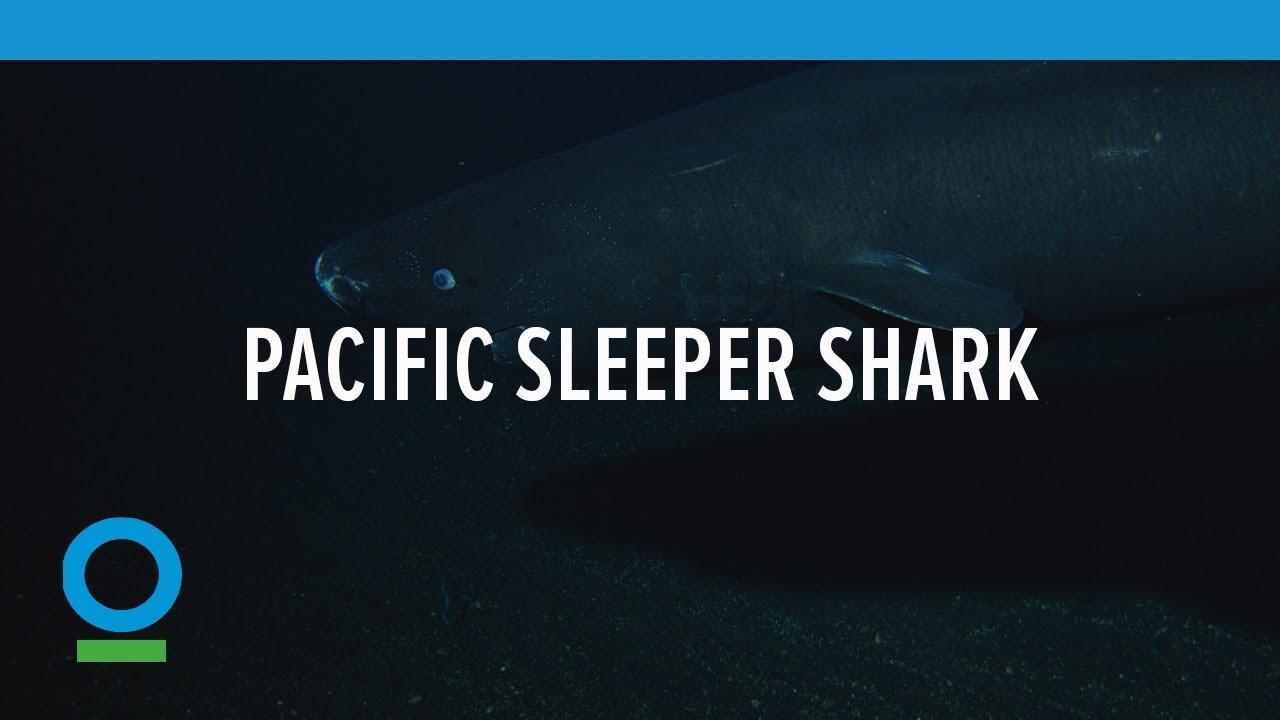 Hasil gambar untuk Pacific Sleeper Shark