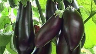 видео баклажаны черный красавец: отзывы, описание сорта, выращивание и уход в открытом грунте