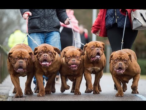 french mastiff puppies for sale     by Dogsbreedofficial