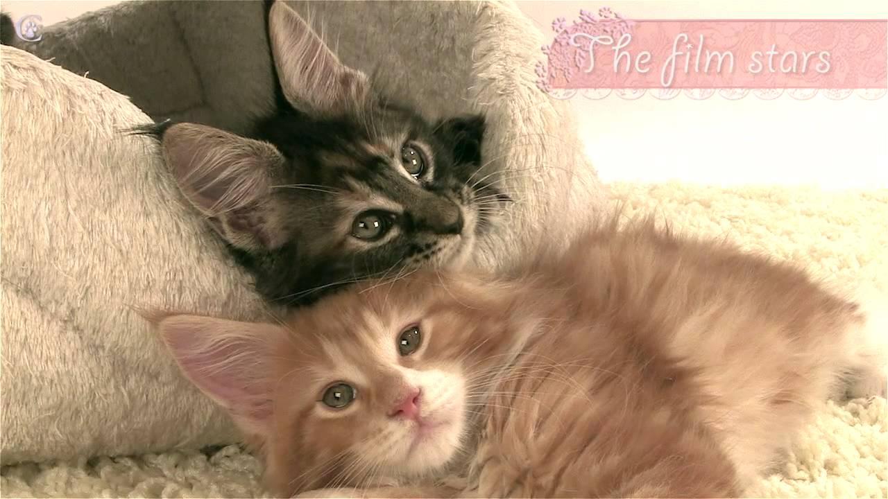 Смотреть котят мейн кун в питомнике   Мейн кун видео   Мейн кун .