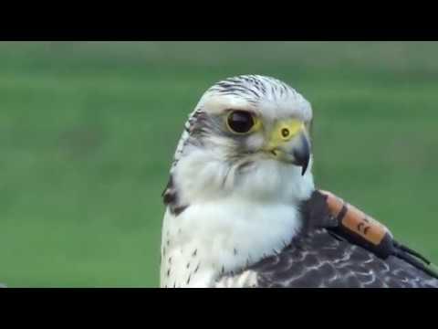 GrimbartTV Falknerei : Ausbildung mit Falken : Beizjagd : Training Hawks :