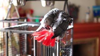 Говорящий попугай Жако разговаривает на разных языках, серый ручной попугай 6 серия
