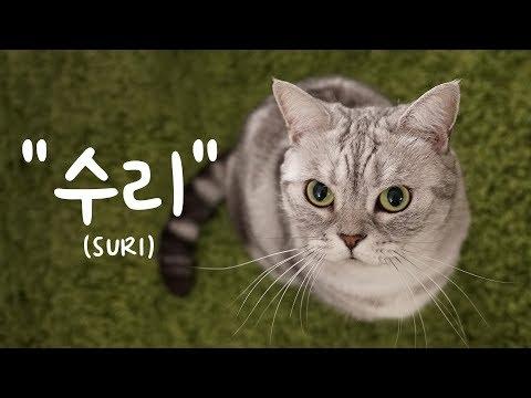 고양이 수리의 자기소개 SURI's Self-introduction [SURI&NOEL CAT's STORY]
