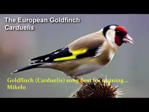 Goldfinch song Best for training 2017