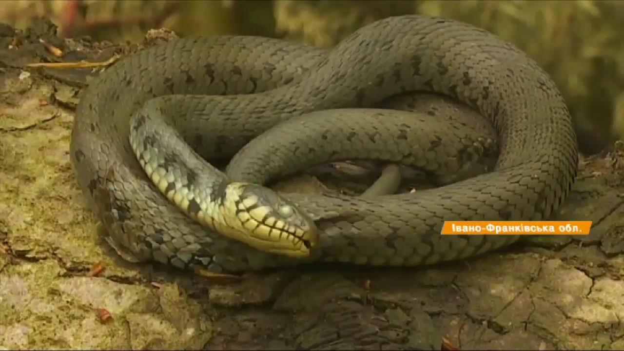 Осторожно, яд! Симптомы укуса ядовитой змеи