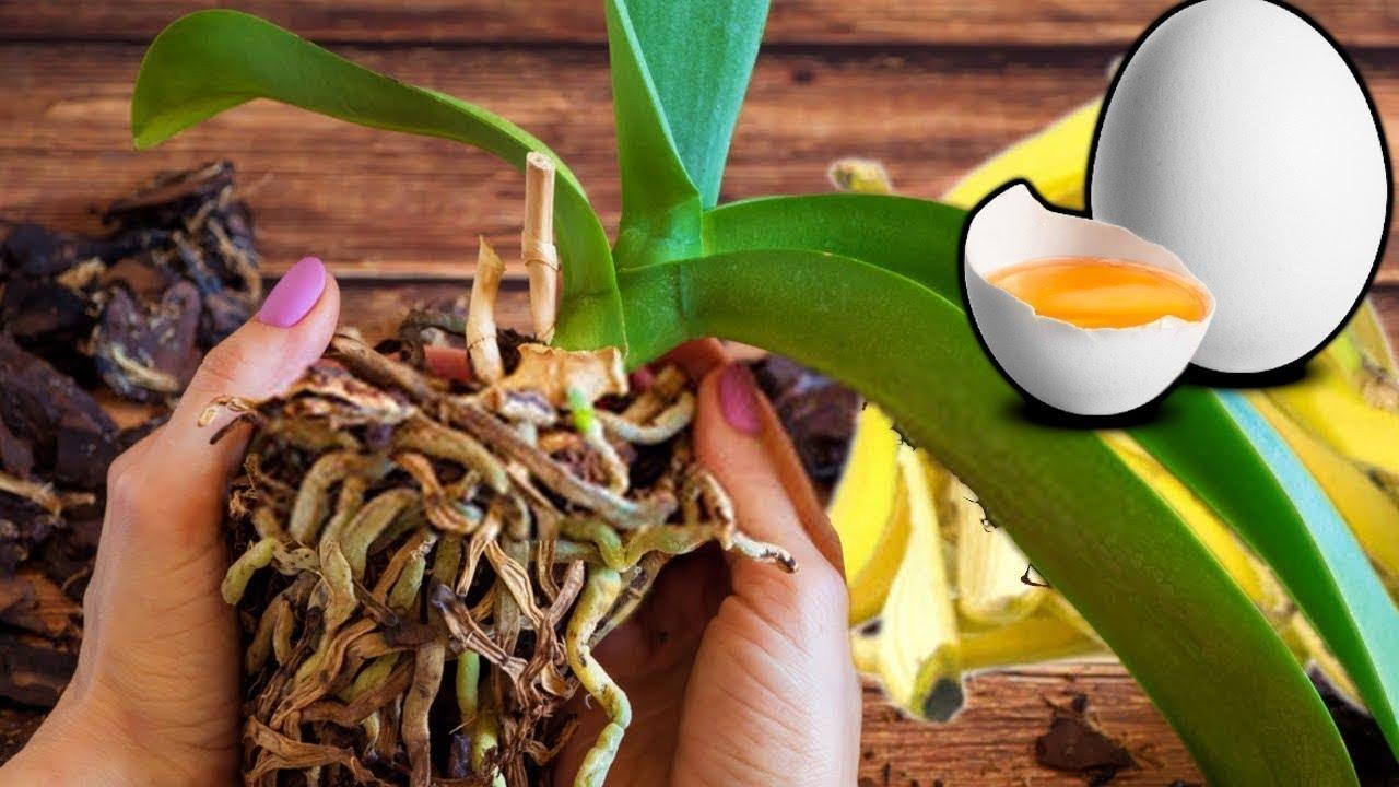 Download 10 sztuczek: Jak pielęgnować storczyki, by kwitły jak szalone? - opis, uprawa, pielęgnacja, porady