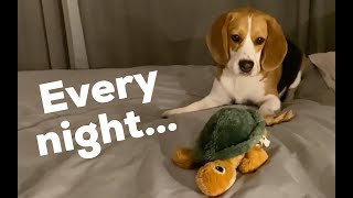 Cute beagle brings all his toys to bed