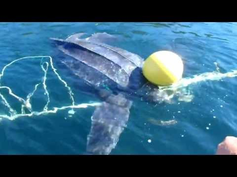 Giant Leatherback Sea Turtle Freed From Entanglement