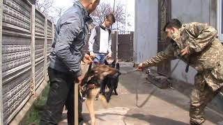 Тестирование молодых собак на защиту (Арис, Тайвор, Багира, Хан)