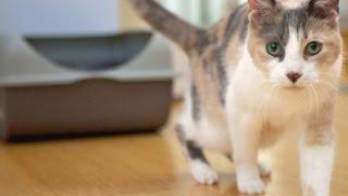 How to Litter Train a Cat - Litter Box Training