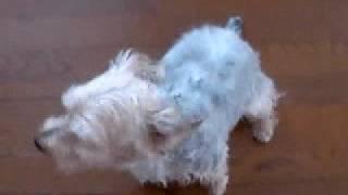 4歳のマイキーを紹介。普段はとてもおとなしい犬ですが...遊びタイムは...