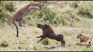Cheetah vs Raja Babi Lincah • Pertarungan Yang Emosional dan Sedih